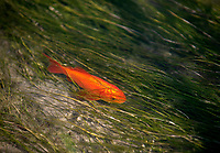 A goldfish swims in an irrigation canal fed by Kelly Warm Springs in Grand Teton National Park. All the fish and amphibians in the warm springs, including non-native pets that were illegally dumped, are being killed by the application of a chemical called rotenone. Once the chemical is flushed from the springs native species will be reintroduced.