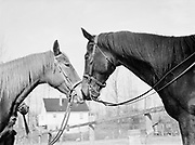 9969-5650. horses touching noses. Pat and Claire Sitton's farm. February 21, 1943. (location on NE Marine Drive in the Bridgeton neighborhood)