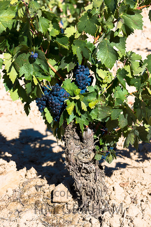 Marques de Riscal vine and black grapes for Rioja red wine at Elciego in Rioja-Alavesa area of Basque country, Spain