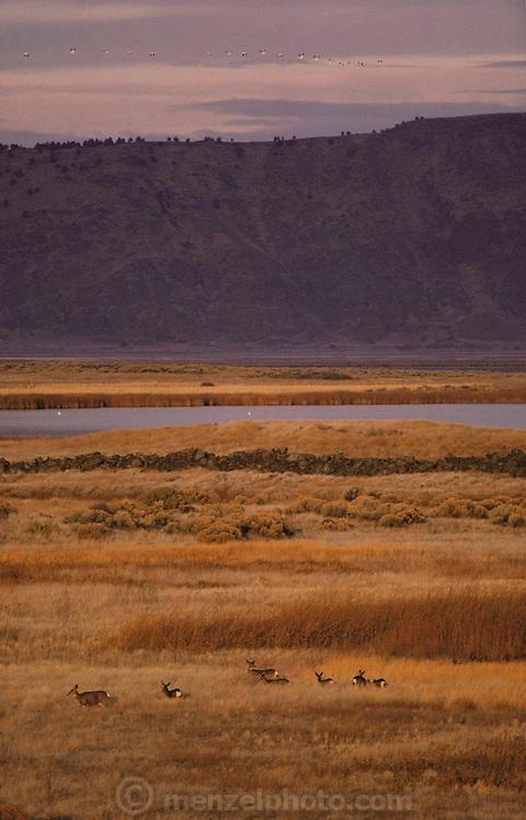 Wild Elk roaming the Lava beds National Monument, Tule Lake, California.