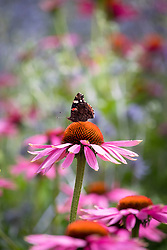 Red admiral butterfly on Echinacea purpurea 'Magnus' - Coneflower.