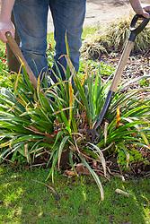 Dividing an overgrown perennial using the back to back fork method - Iris foetidissima (Stinking iris, Roast beef plant)