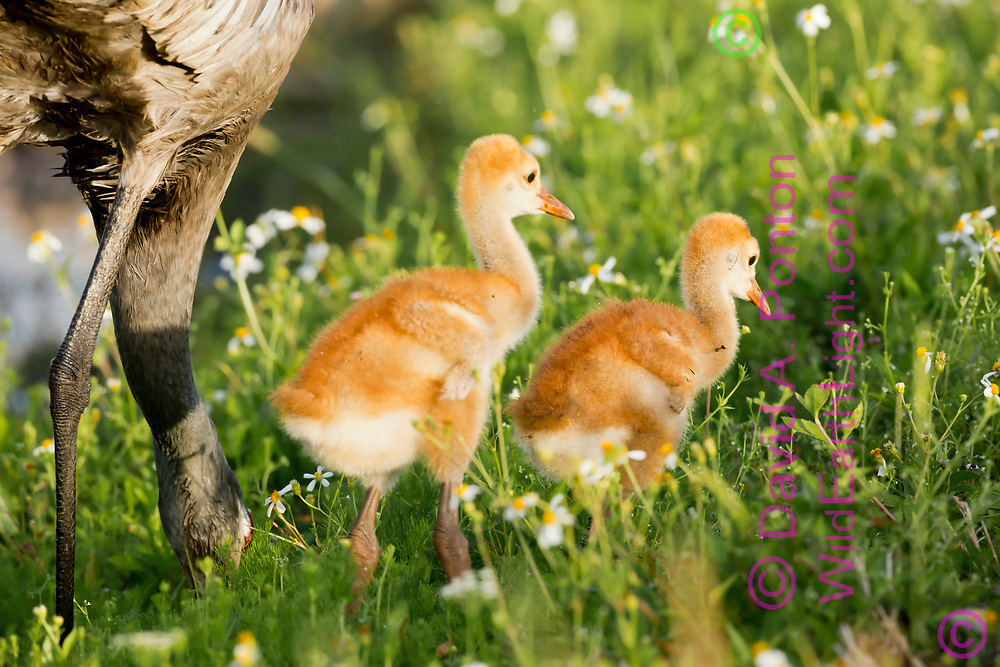 Sandhill crane chicks wait near adult that is foraging in a lush green meadow in a wetland, © David A. Ponton