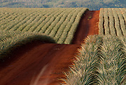 A red dirt road runs through the pineapple fields of central Oahu in Hawaii.