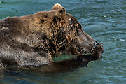 A large Grizzly bear boar fishes for chum salmon in the upper McNeil River falls at the McNeil River State Game Sanctuary on the Kenai Peninsula, Alaska. The remote site is accessed only with a special permit and is the world's largest seasonal population of brown bears.