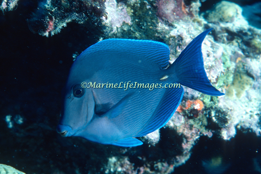 Blue Tang inhabit reefs in the Tropical West Atlantic; picture taken Grand Cayman.