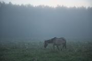 Konik horse (Equus ferus caballus) in early foggy morning browsing in the meadow, Kemeri National Park (Ķemeru Nacionālais parks), Latvia Ⓒ Davis Ulands | davisulands.com