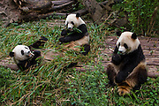 Giant pandas eat and lounge at the Giant Panda Research and Breeding Center, in Chengdu, China.  The giant panda is a highly endangered species, with a roaming population of only 1590. The captive population was 189 in 2005, according to the Third Giant Panda Survey (2004).