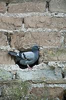 Rock pigeon (Columba livia) in Vatican's garden, Rome, Italy