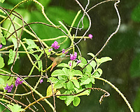 Rufous-tailed Hummingbird (Amazilia tzacatl). Arenal Volcano Lodge. Image taken with a Nikon D3s camera and 70-300 mm VR lens