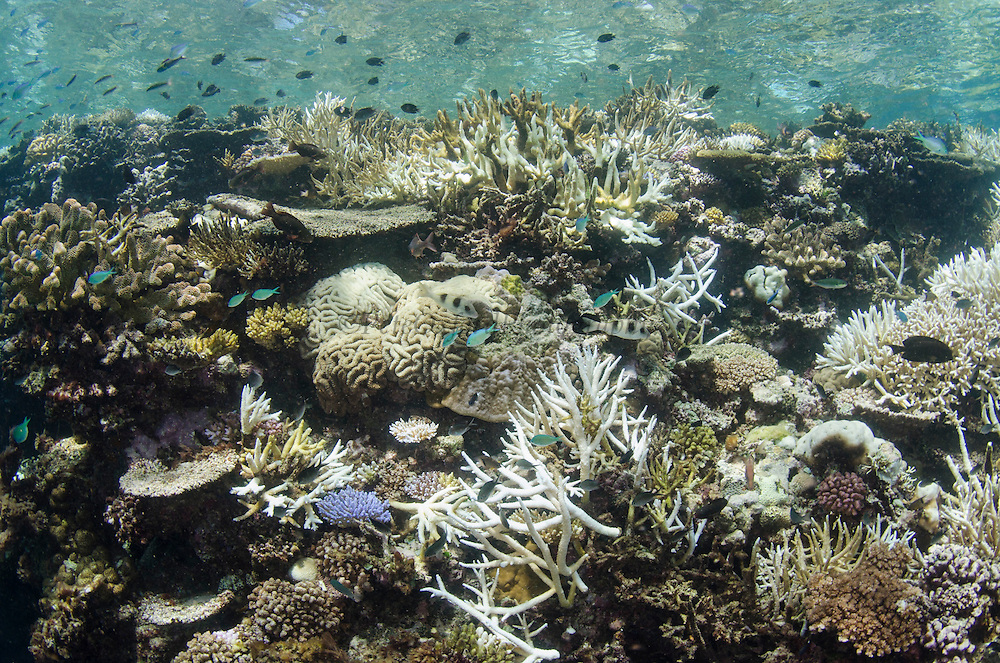 Bleached Coral<br /> Fiji. South Pacific<br /> Caused by terrestrial runoff, increased water temperate, global warming