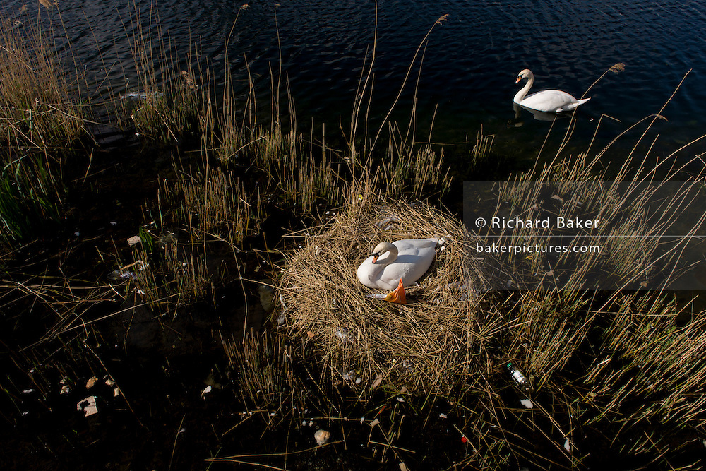 Guarded by the male cob, a female mute swan (pen) incubates her eggs on a nest surrounded by plastic bags waste, in an urban water basin.