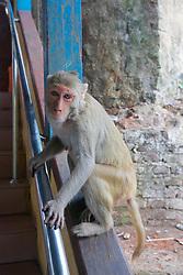 Rhesus Macaque Monkey, Mount Popa