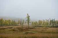 Autumn birch tree in misty weather along middle section of Kungsleden Trail, Lapland, Sweden