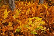 Wood ferns in autumn<br />Baysville<br />Ontario<br />Canada
