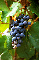 California: Napa Valley, Vineyards, wine, grapes ready for harvest,  Photo  cana20105.Photo copyright Lee Foster, 510/549-2202, lee@fostertravel.com, www.fostertravel.com