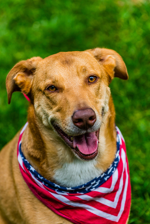 A lab/border collie mix dog dressed for the Fourth of July, Littleton, Colorado USA.