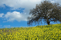 yellow colza flowers on a hill with a tree without leaves,Malaga, Andalucia, Spain