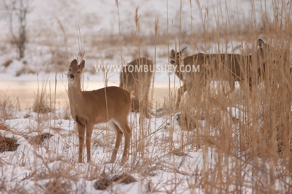 Goshen, N.Y. - Deer feed in a snowy field on a late winter afternoon on March 4, 2006. © Tom Bushey/The Image Works