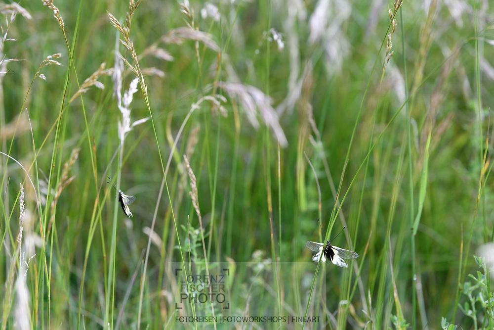 Zwei Libellen-Schmetterlingshafte (Libelloides coccajus) wärmen sich auf am frühen Morgen mit ausgebreiteten Flügeln auf einem Grashalm in einem Trespen-Halbtrockenrasen (Mesobrometum), Tiefencastel, Parc Ela, Graubünden, Schweiz<br /> <br /> Two Owly sulphurs (Libelloides coccajus) warm up in the early morning with their wings spread out on a blade of grass in a semi-dry grass meadow (Mesobrometum), Tiefencastel, Parc Ela, Graubünden, Switzerland