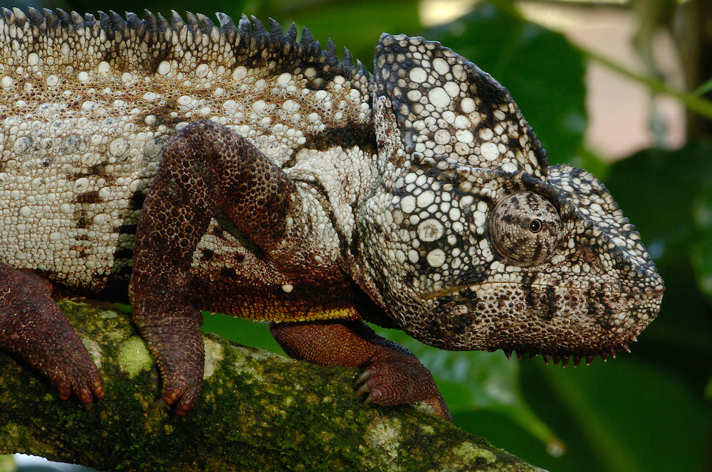 Oustalet's chameleon (Furcifer oustaleti) Western and central MADAGASCAR, endemic