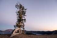 A white pine stands solitary along the rim of Crater Lake, Oregon