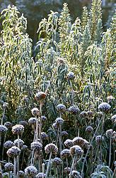 Frost on Phlomis fruticosa and Cistus purpureus