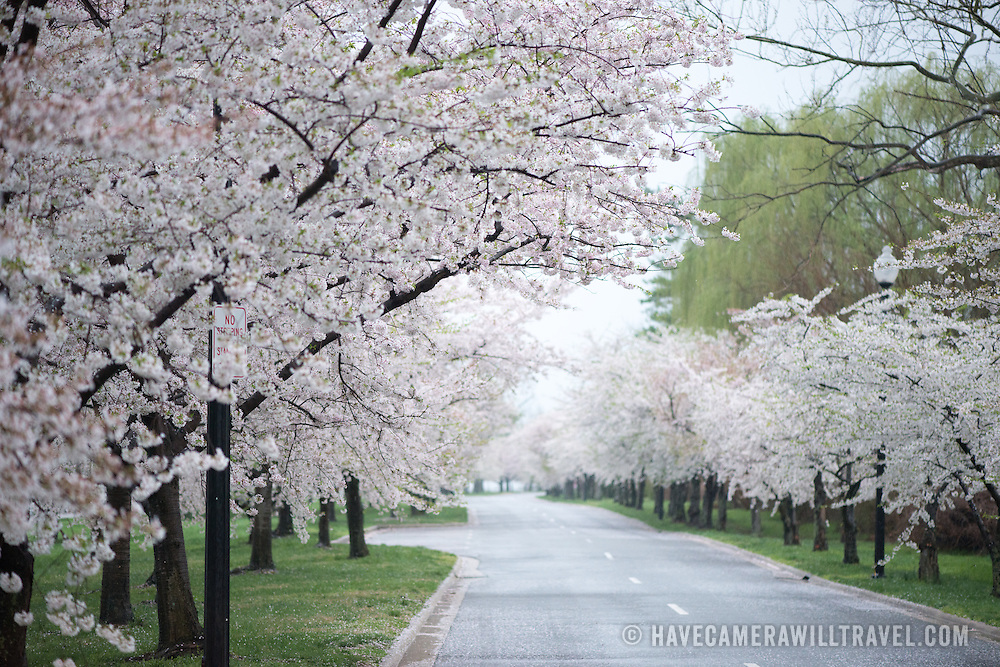 West Ohio Drive around Hains Point and West Potomac Park lined with blooming cherry blossoms in the spring.