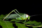 Collared Katydid (Euceraia sp.)<br /> Yasuni National Park, Amazon Rainforest<br /> ECUADOR. South America