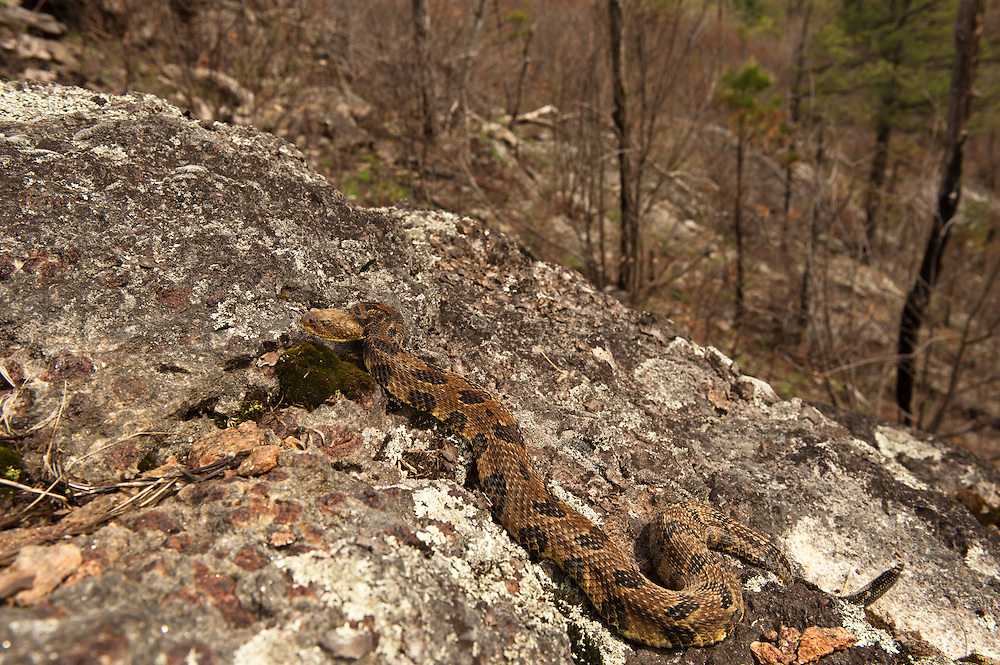 Timber Rattlesnake (Crotalus horridus) - Yellow morph<br /> MANIPULATED<br /> near hibernation den<br /> Northern Georgia<br /> USA<br /> HABITAT & RANGE: Deciduous forests in rugged terrain and open, rocky ledges. Eastern USA