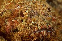 Scorpionfish (Scorpaena sp.)<br /><br />Canales de Afuera Islands<br />Coiba National Park<br />Panama