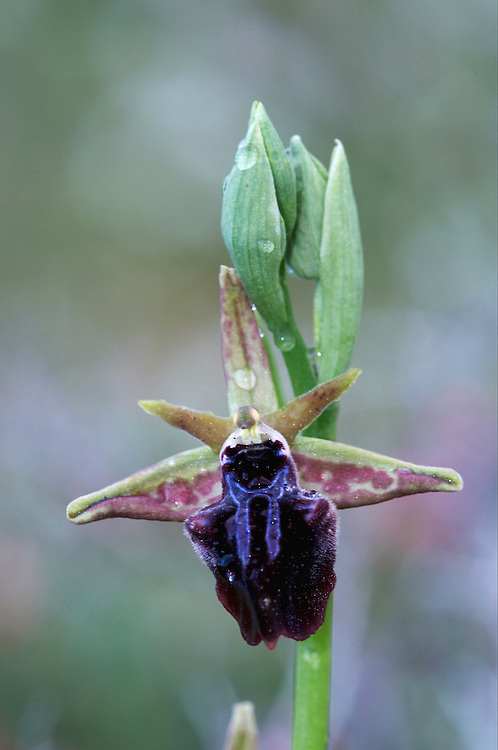 Breasted Ophrys (Ophrys mammosa), Hisarköy, Northern Cyprus