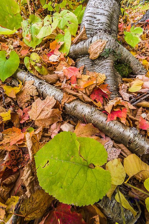 Autumn design of forest understory, overcast light, October, Porcupine Mountains Wilderness State Park, Ontonagon County, Upper Peninsula, Michigan, USA