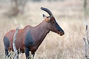 Male Topi antelope in East African habitat.