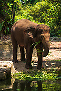 Asian elephant at the Singapore Zoo, Singapore, Republic of Singapore