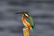 Kingfisher, Alcedo atthis, Stodmarsh National Nature Reserve, Kent, adult, female, perching, colourful
