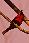 Summer Tanager, Cloud Forest, Costa Rica