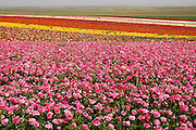 Israel, A field of cultivated Buttercups