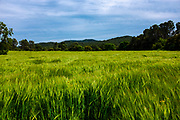 Unripe, green wheat growing in a field, Catalonia