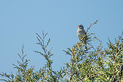 A male white-crowned sparrow sings from the top of a cedar in Washington Park by Anacortes.