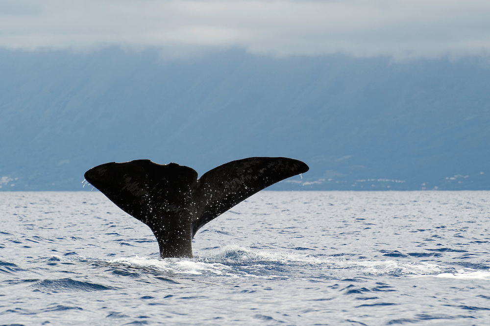 Fluking sperm whale, Physeter macrocephalus, Pico, Azores, Portugal