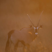 Gemsbok, (Oryx gazella) Adult backlit by evening sun on Kalahari Desert. Africa.