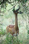 Kenya, Samburu National Reserve, Kenya, Gerenuks Litocranius walleri, AKA Giraffe Gazelle munching leaves from a tree