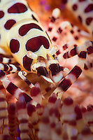 A super macro image of the mouth parts of a coleman shrimp ( Periclimenes colemani) in its fire urchin (Asthenosoma varium) home.<br /> Coleman shrimps are only found on fire urchins and live in an obligate symbiosis with their host. They feed on the soft tube feet and tentacles of the sea urchin, which does not seem to be severely harmed. The venomous spines of the urchin provide an excellent defense from any would be predators too.