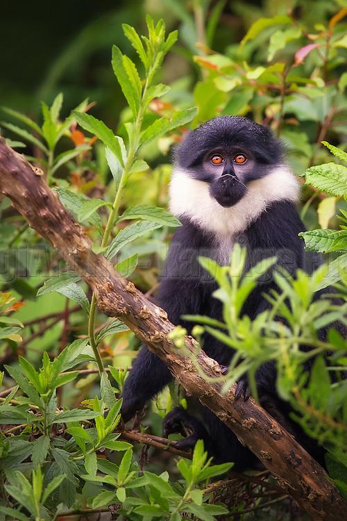 Mountain Monkey with cobweb on it's nose, captured in Rwanda nearby Nyungwe | Montain Monkey med spindelvev på nasen, fotografert i Rwanda i nærheten av Nyungwe.