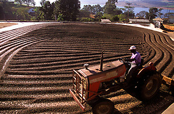 Areado, Minas Gerais, Brasil. 07/2002. .Secagem de cafe. Trator espalhando os graos./ Drying out coffee. Tractor spreading the grains..Foto © Marcos Issa/Argosfoto