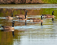 Canada Geese. Sourland Mountain Preserve. Image taken with a Nikon N1V3 camera and 70-300 mm VR lens.