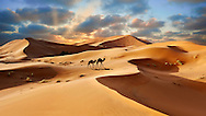 Camel rides on the Sahara sand dunes of erg Chebbi at sunset, Morocco, Africa .<br /> <br /> Visit our MOROCCO HISTORIC PLAXES PHOTO COLLECTIONS for more   photos  to download or buy as prints https://funkystock.photoshelter.com/gallery-collection/Morocco-Pictures-Photos-and-Images/C0000ds6t1_cvhPo