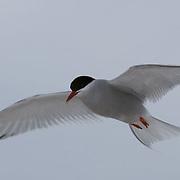 Arctic Tern, in flight. Nunavut, Canada