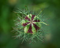 Love-in-a-mist seed pod. Image taken with a Leica SL2 camera and 60 mm f/2.8 TL lens.